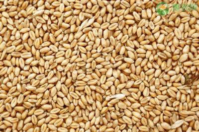 4月小麦价格行情如何?(附4月1日小麦最新批发价格)