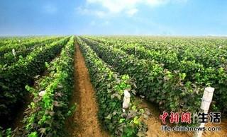 葡萄砧木种子繁殖砧木苗
