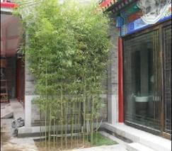 观赏竹类的栽培技术