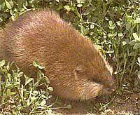 冬季麝鼠的饲养管理要点