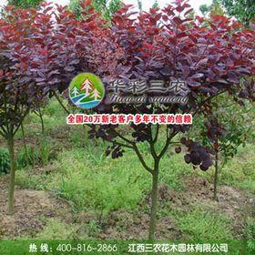 紫叶红栌几月发芽?紫叶红栌种植养护方法