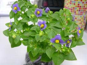盆栽紫罗兰栽培技术