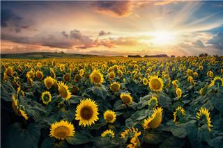 食用向日葵什么时候种?食用向日葵的种植时间和方法