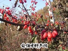 西峡山茱萸