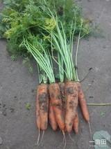山东阳谷胡萝卜种植富农家