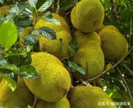 木菠萝的高压繁殖