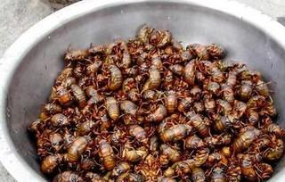 林下养金蝉 收入很可观