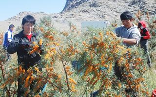 新疆青河:万亩沙棘采摘上市