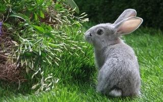 新购种兔要把好五关