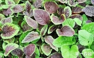 夏季如何栽培露地苋菜