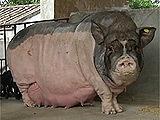 猪的三元杂交配种技术