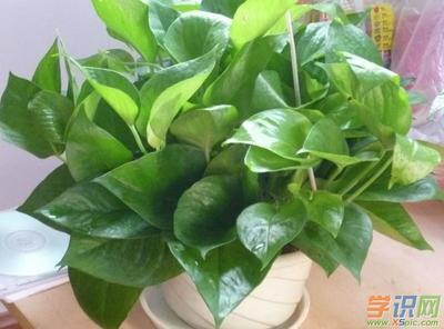 绿萝怎么种植?绿萝土栽的种植方法