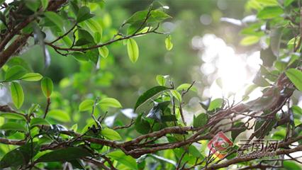 普洱澜沧:小茶叶托起大产业
