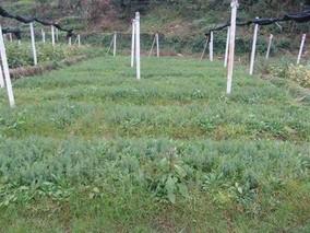 柏木播种育苗技术