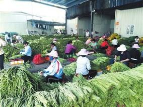 三亚豇豆收购价格持续上涨