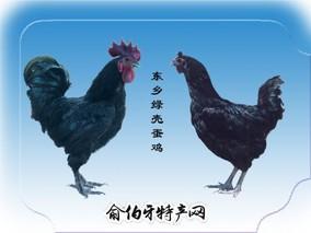 东乡黑羽绿壳蛋鸡
