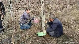 秋季果树腐烂病的防治