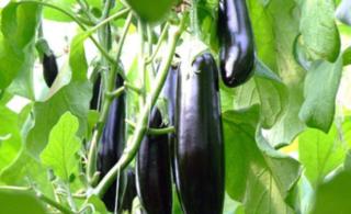 无公害茄果类蔬菜施肥技术