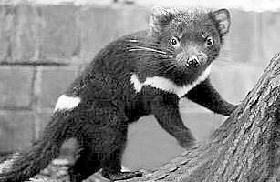 獾的人工养殖技术