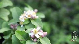 苹果树种子怎么种植