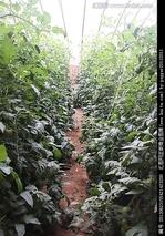 豇豆冬春茬温室栽培的管理方法