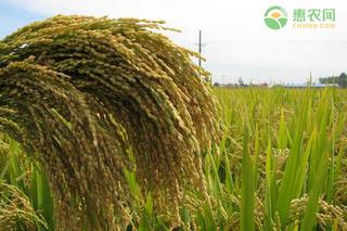 今日稻谷价格多少钱一斤?2021年4月14日稻谷价格最新行情