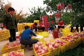 西安临潼:火红的石榴让老百姓的日子更红火
