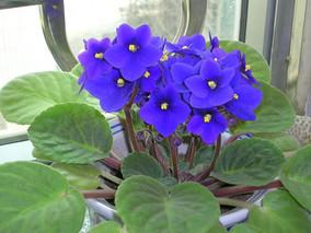 如何繁殖非洲紫罗兰