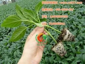 下午吊枝甜椒高产