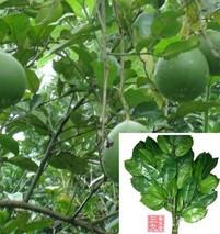 柚叶的功效与作用
