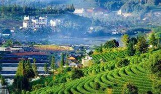 云南普洱茶台地茶与乔木老树茶的比较