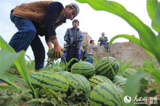 """新疆阜康市:""""订单""""制种豇豆种植助农增收"""