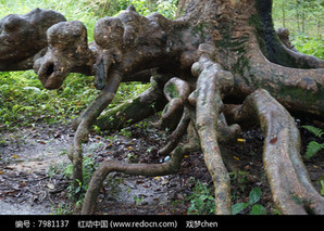 橄榄树根可以治什么病