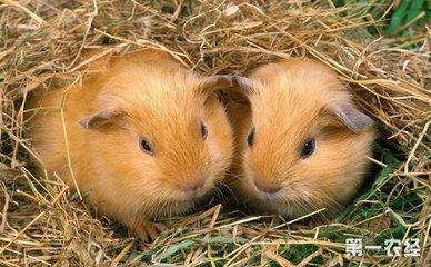如何辨别竹鼠怀孕