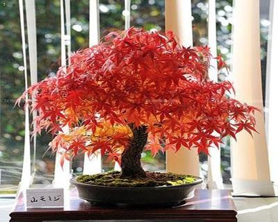 红叶鸡爪槭盆景怎么养