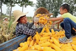 河南滑县家庭农场喜收富硒苹果