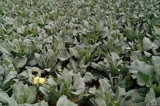 花椰菜细菌性叶斑病防治措施
