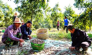 南京市六合区薄壳山核桃种植推进会在龙池召开