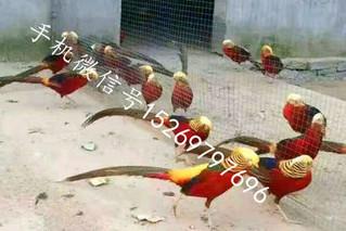 红腹锦鸡的人工驯化