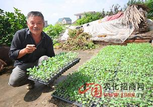 花椰菜的育苗栽培