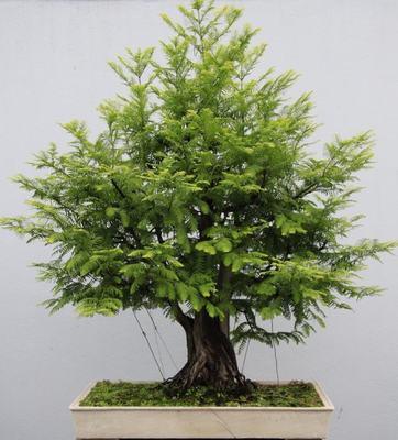 水杉怎么养?水杉的养殖方法