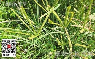 Belchim公司推出可替代草甘膦的除草剂