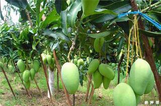 芒果产地哪里的好吃