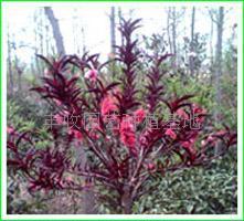 红叶碧桃种子如何种植?红叶碧桃种植经验