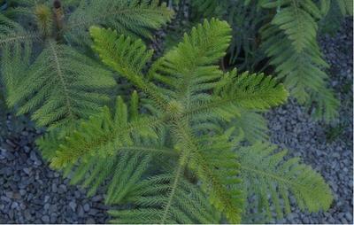 异叶南洋杉怎么繁殖?异叶南洋杉种植技术
