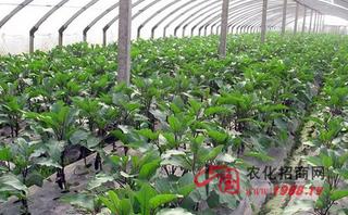 无公害叶菜类蔬菜施肥技术