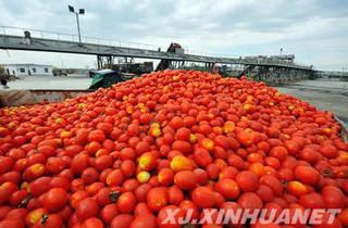 番茄加工果丹皮