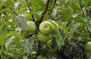 苹果树种植技术与管理方法