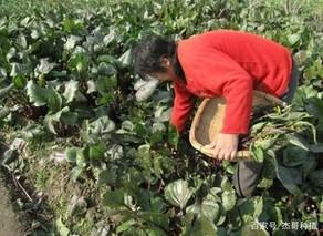 武汉菜薹赴青海反季节种植成功