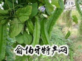 灵山四棱豆